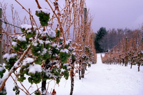 icewine on vines