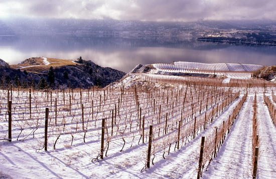 penticton grape vines snow winter