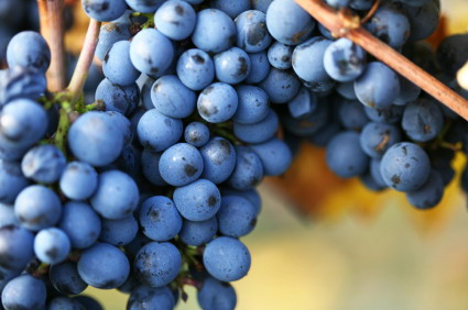 grapes pinot noir