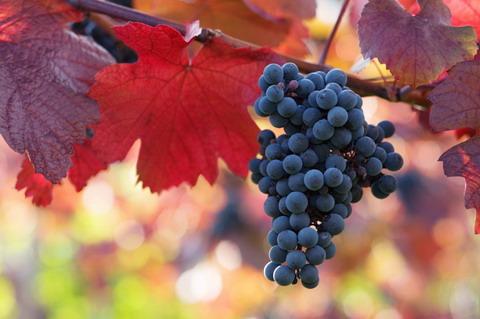 grapesredleaves