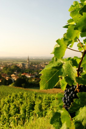 vineyard Europe