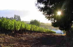 vineyards sun