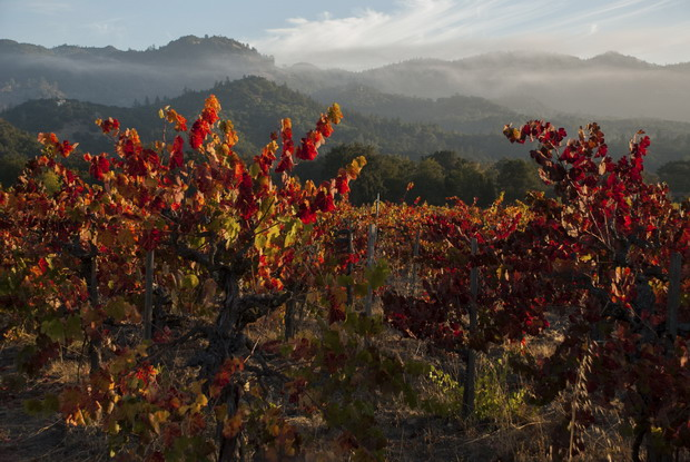 napa red vine leaves fall 620