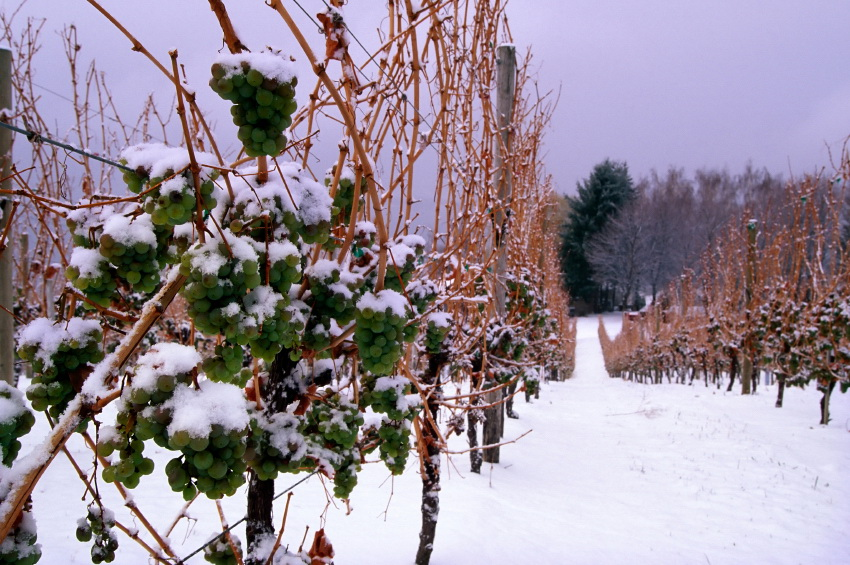 winery vineyard snow winter icewine grapes frozen vines