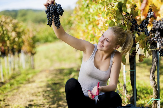 Beautiful young blonde woamn harvesting grapes outdoors in vineyard