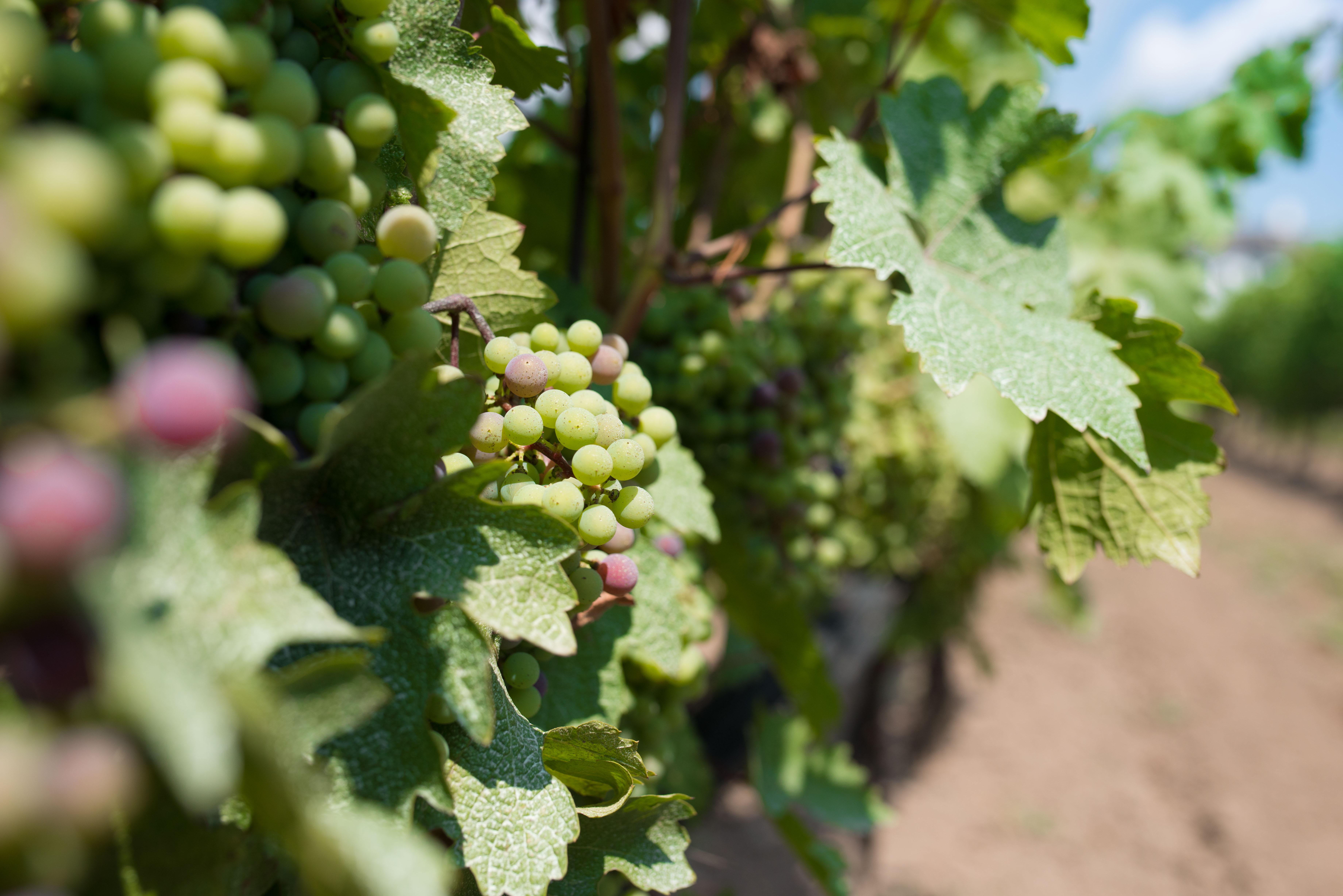 Grapes of the Niagara Region