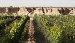 argentine-vines